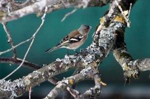 Chaffinch, Fringilla coelebs, photo credits: H. Ribis, Grunwalderhof