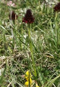 Gewöhnliches Kohlröschen (Nigritella rhellicani)