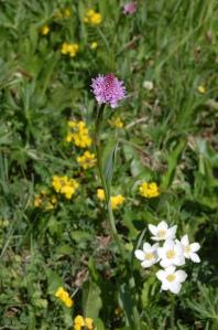 Rosa Kugelorchis, auch Rote Kugelorchis oder Rosa Kugel-Knabenkraut (Traunsteinera globosa)