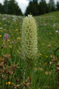 Strauß Glockenblume (Campanula thyrsoides)