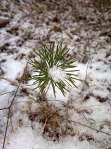 Junge Kiefer im Winter