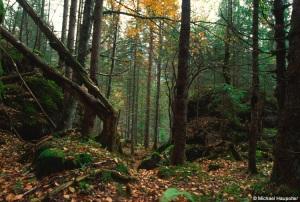 Urwald im Karwendel